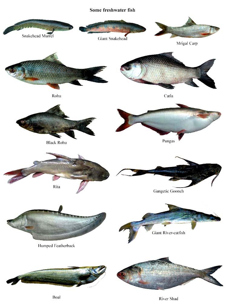 Fish - Banglapedia