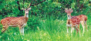 File:DeerSpotted2.jpg