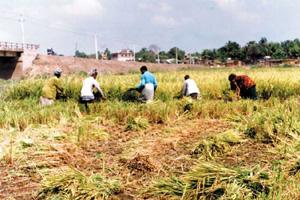 Rice - Banglapedia