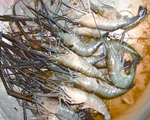 Prawn banglapedia for Fish representative species