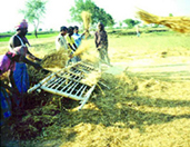 RiceThreshing2.jpg