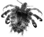 Louse(Crab).jpg