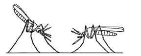 File:MosquitoAnopheles.jpg