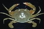 Crab9.jpg