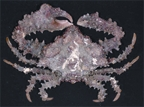 Crab6.jpg