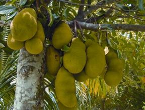 Jackfruit Banglapedia