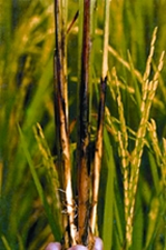 RiceDiseases.jpg