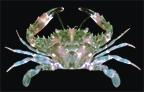 Crab7.jpg