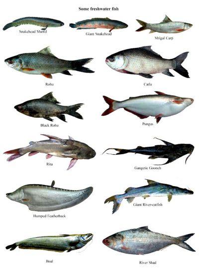 Bay of bengal fish